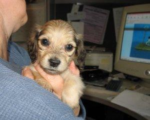 desk-puppy